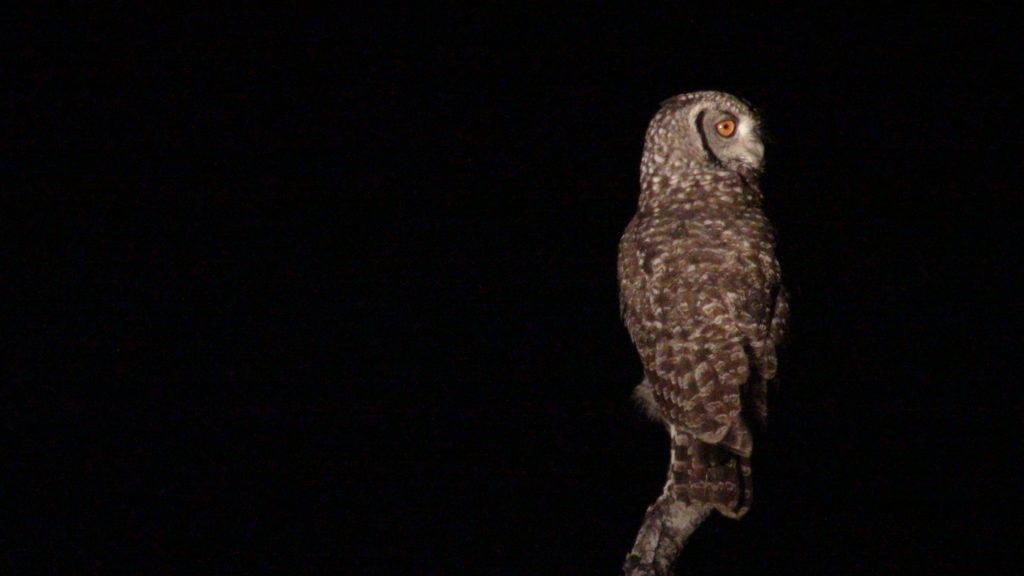 African_Owl_by_Night